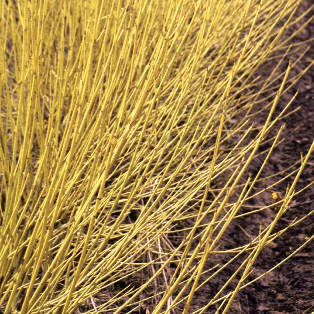 "Arctic Fire™ Yellow - Cornus sericea - Redtwig Dogwood - Proven Winners - 4"" Pot"