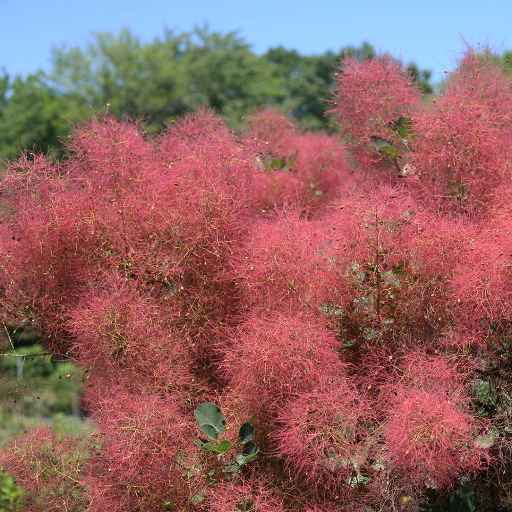 "The Velvet Fog™ Smokebush - Cotinus - Red Fall Color! - 4"" Pot"