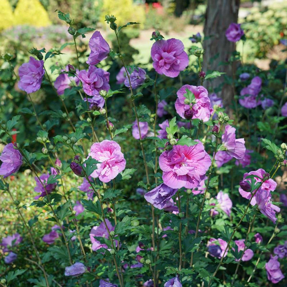 "Dark Lavender CHIFFON® Hibiscus - Rose of Sharon - Proven Winner - 4"" pot"