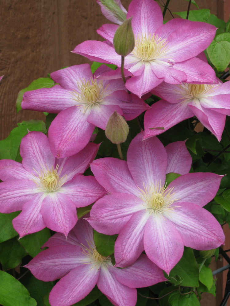 """Asao Clematis - Bright Pink with White Band - 2.5"""" Pot"""