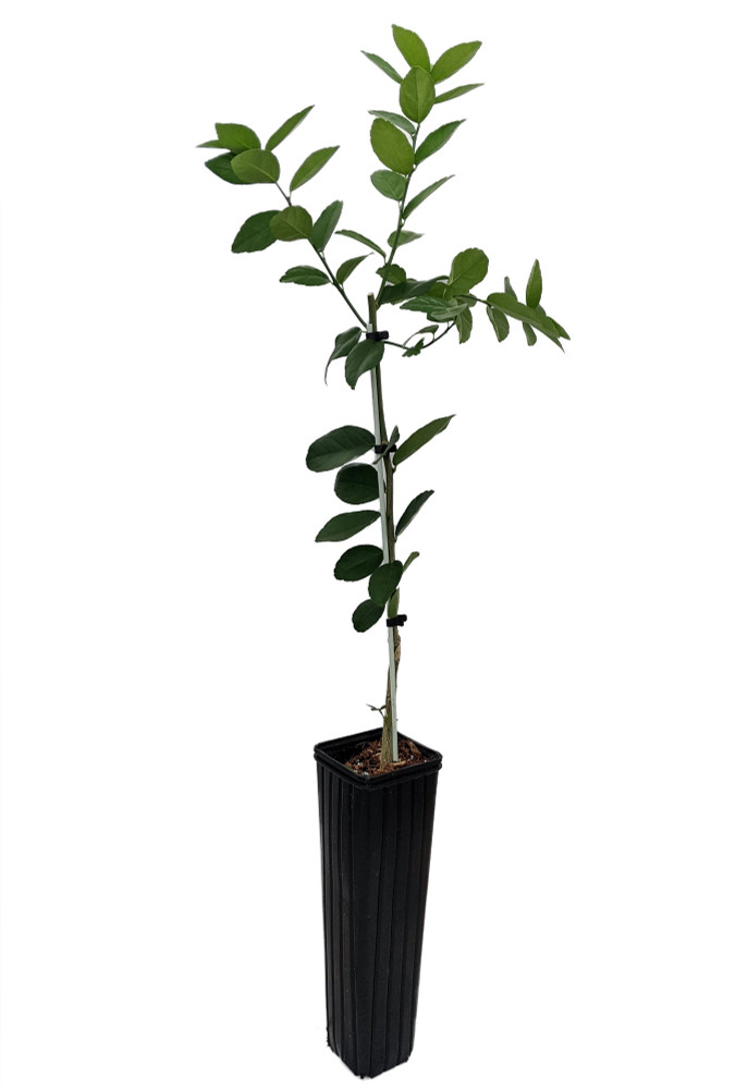 """Thornless Key Lime Tree - 4"""" x 12"""" Pot - Fruiting Size-Key Lime Pie"""
