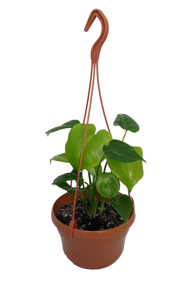 """Split Leaf Philodendron - 6"""" Hanging Basket - Monstera deliciosa"""