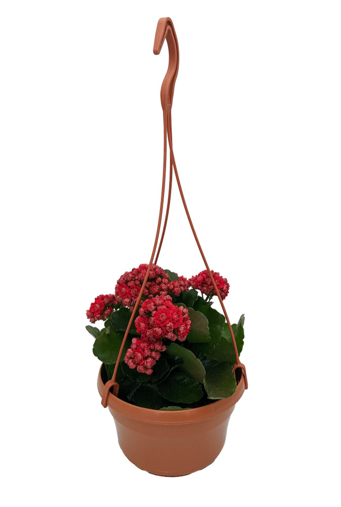 """Red Calandiva Plant - 6"""" Hanging Basket - Kalanchoe - Double Red Blooms"""