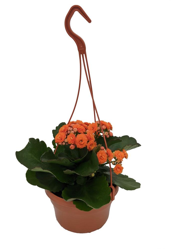 """Orange Calandiva Plant - 6"""" Hanging Basket - Kalanchoe - Double Orange Blooms"""