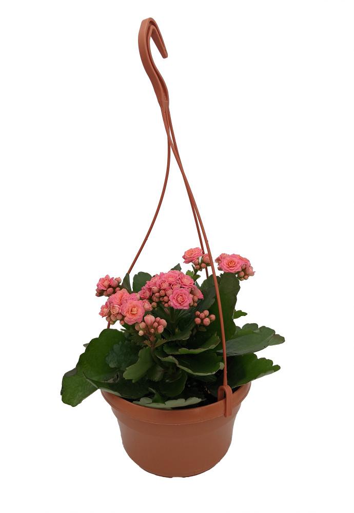 "Pink Calandiva Plant - 6"" Hanging Basket - Kalanchoe - Double Pink Blooms"