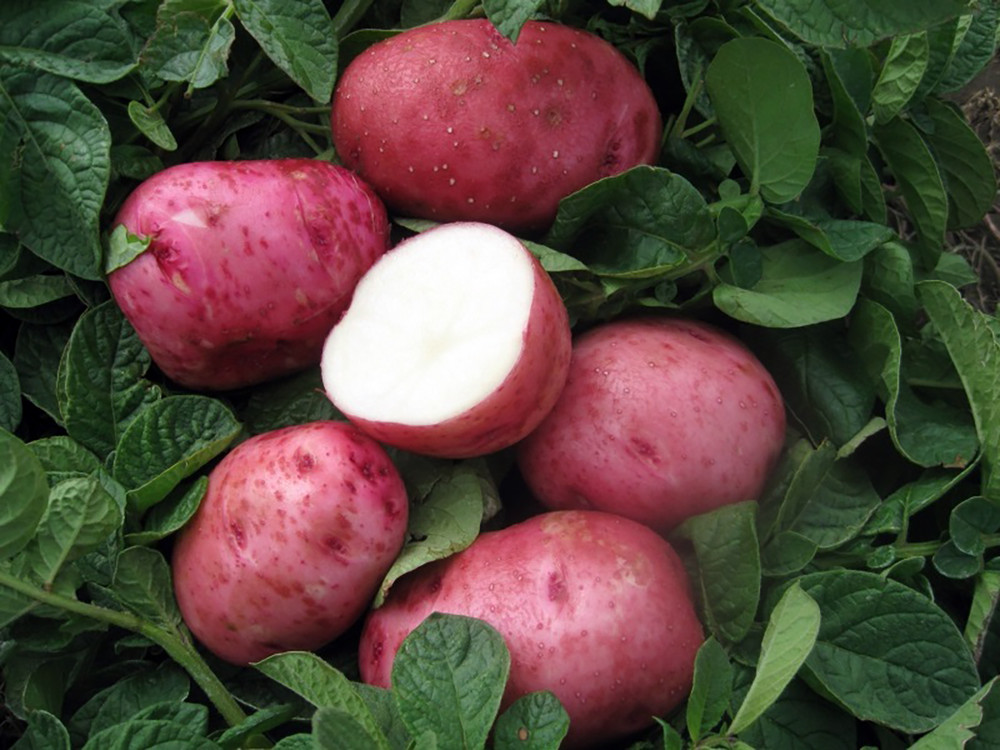 Red Pontiac Potato - 2 lbs Certified Seed (Tuber)