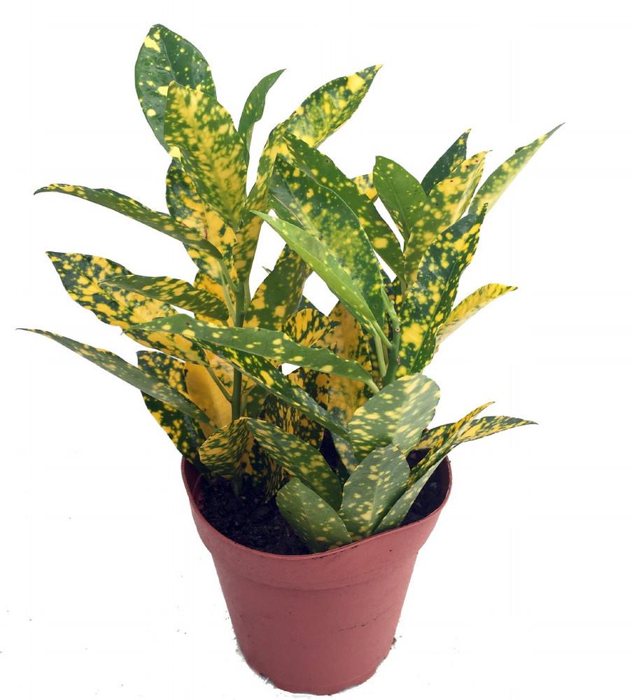 """Gold Dust Croton - 6"""" Pot - Colorful House Plant"""