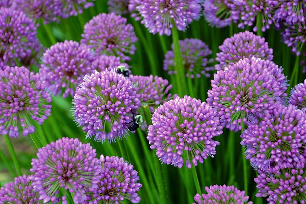 Millenium Flowering Onion Perennial - Allium - Gallon Pot