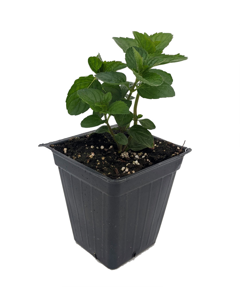 "Spearmint Plant - Grow Indoors/Out - 3"" Pot"