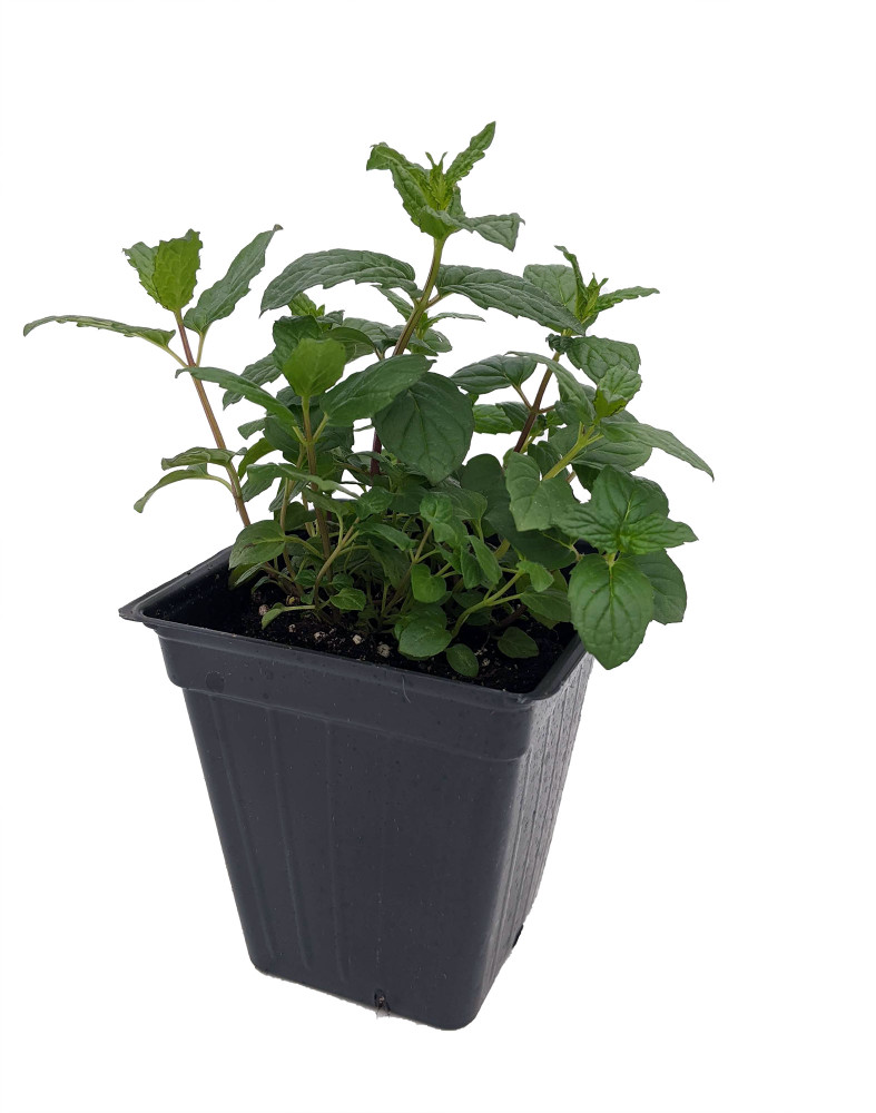"""Peppermint - Grow Indoors or Out - Easy to Grow! - 3"""" Pot"""