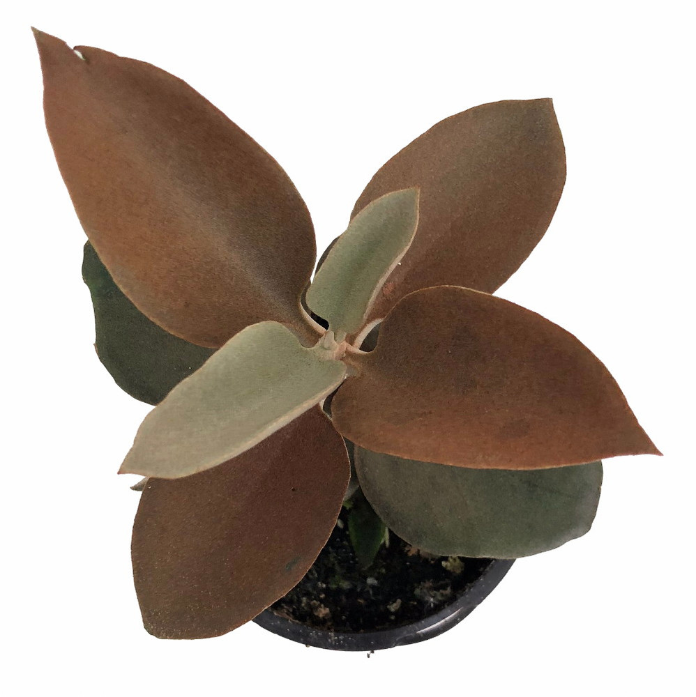 """Copper Spoons Succulent - Kalanchoe orgyalis - Easy to grow - 2"""" Pot - Trending"""