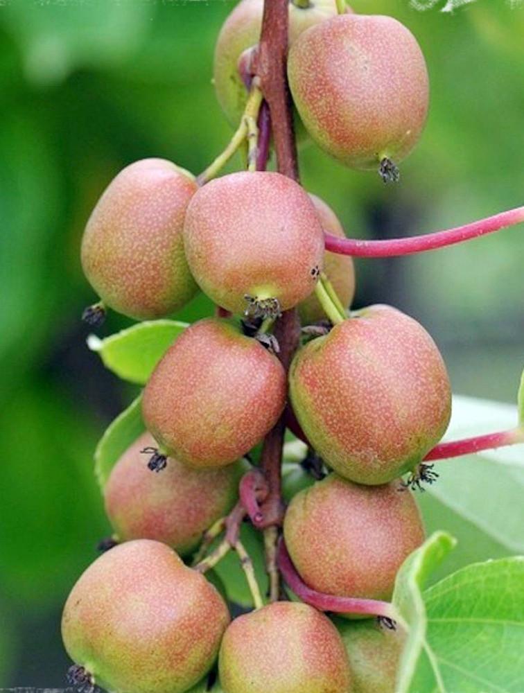 """Geneva Female Kiwi Plant - Hardy - 2.5"""" Pot"""