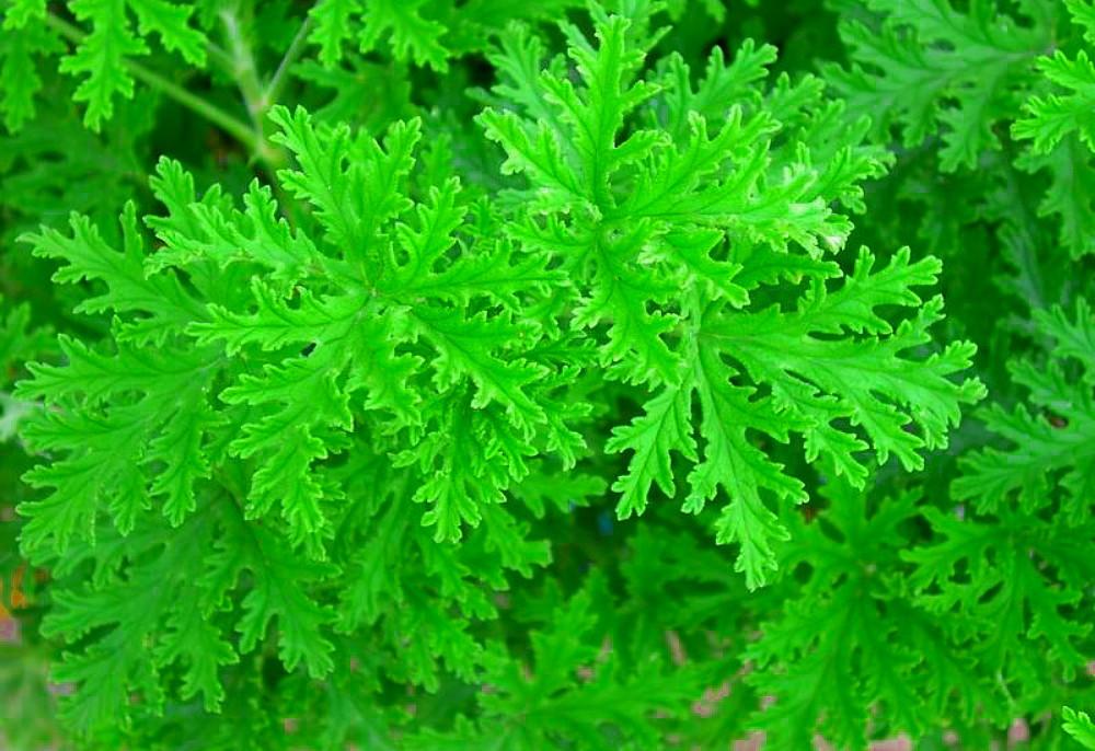 """Citronella Mosquito Plant - Pelargonium Van Leenii - 2.5"""" Pot"""