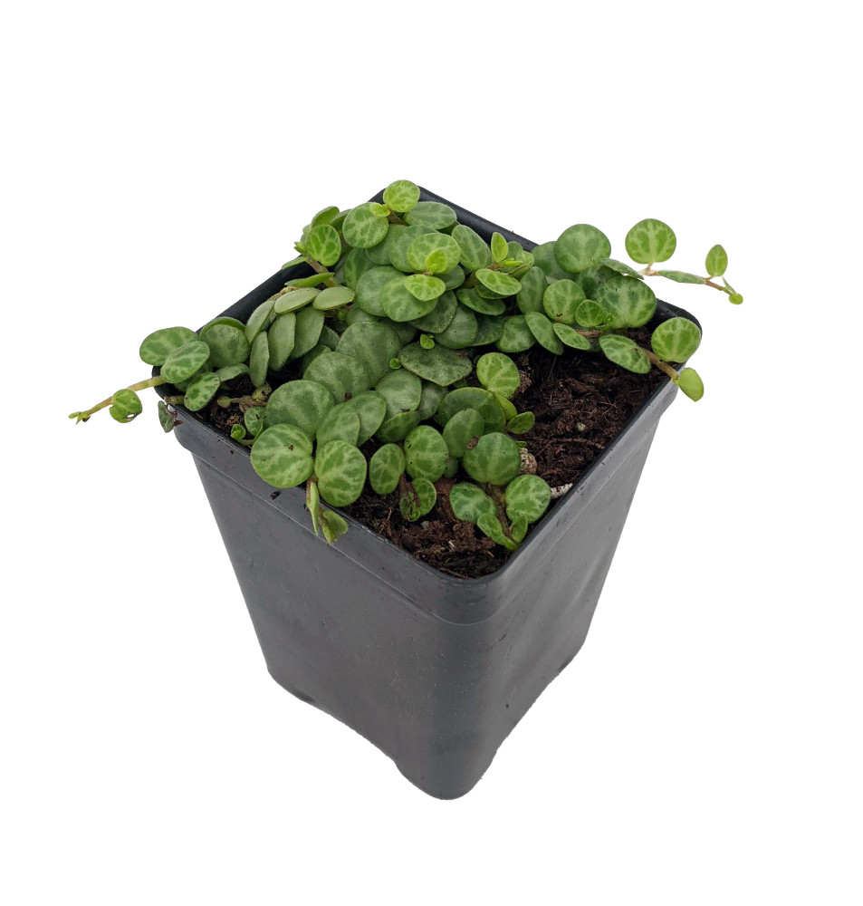 """String of Hearts/Turtles/Peace Sign/Cross - Peperomia prostrata- 2.5"""" Pot"""