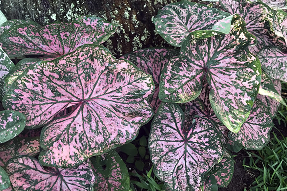 Florida Elise Caladium - 3 Bulbs - Pink Fancy Leaf
