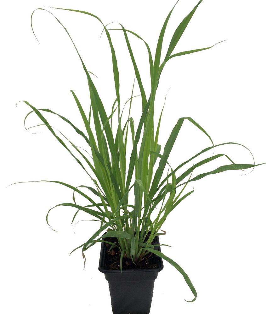 """Ohio Grown Lemon Grass Plant - Cymbopogon - 3"""" Pot"""