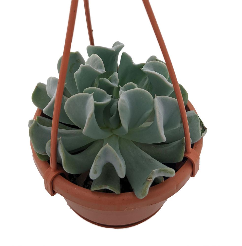 "Topsy Turvy Succulent Plant - Echeveria runyonii - 4"" Mini Hanging Basket"