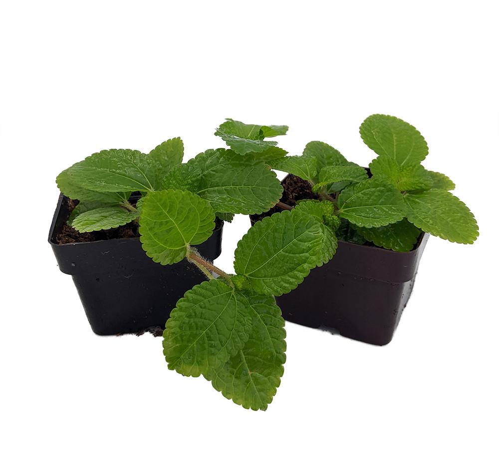 "Creeping Charlie - Pilea nummulariifolia - 2 Pack 3"" Pots - Easy House Plant"