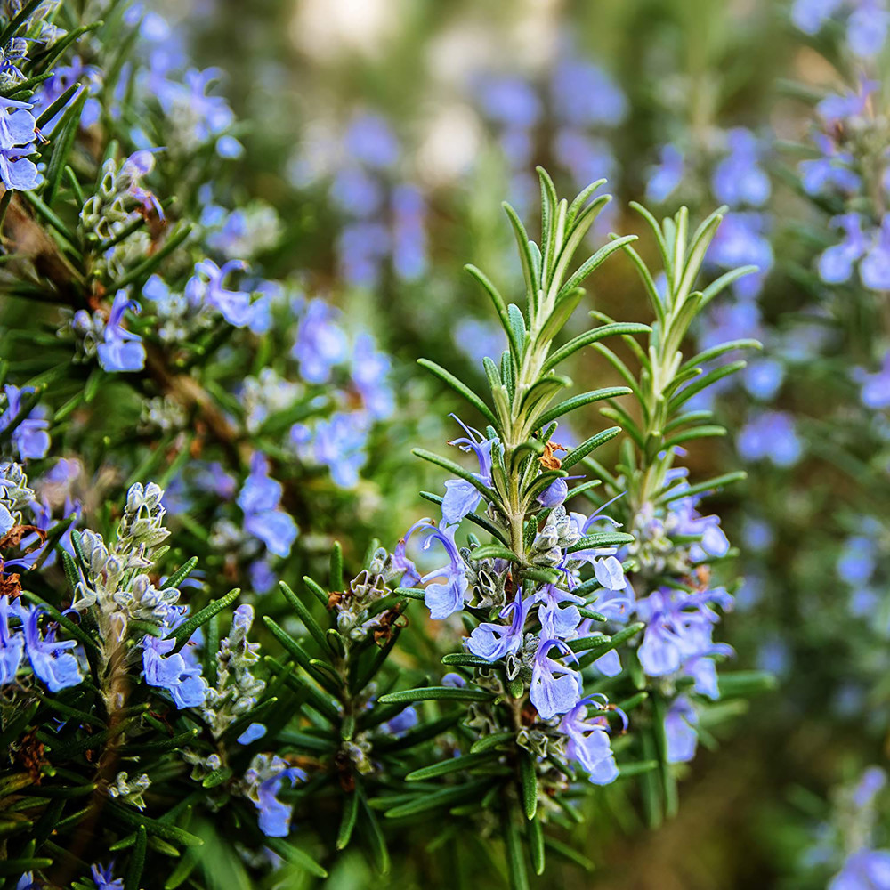 """Common Rosemary Plant - 3"""" Pot - Indoors or Out"""