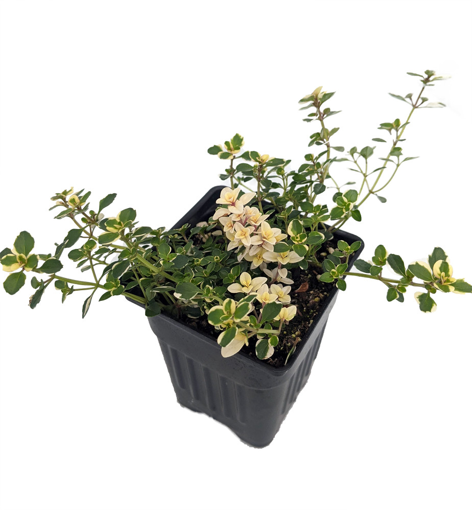 """Foxley Thyme Plant - Thymus pulegiodes - Live Plant - 2.5"""" Pot"""