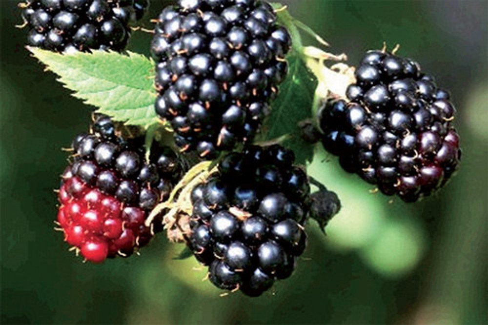 """Black Satin Thornless Blackberry Plant - NEW! - 2.5"""" Pot"""
