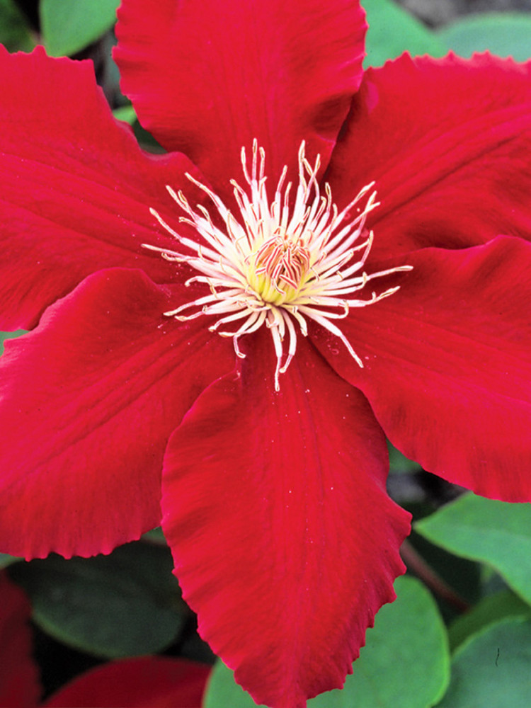 """Rebecca Clematis Vine - Perennial - Red Color - Early Large Bloomer - 2.5"""" Pot"""