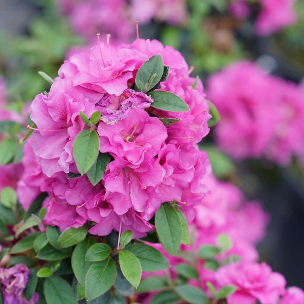 """Perfecto Mundo™ Double Purple Azalea Rhododendron - 4"""" Pot - Proven Winners"""