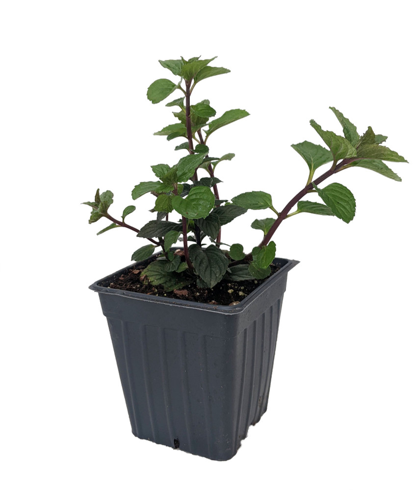 """Upright Peppermint - Grow Indoors or Out - Easy to Grow! - 3"""" Pot"""