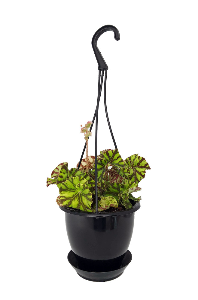 """Zumba Rex Begonia Plant - Magic Color Series - 4.5"""" Black Hanging Basket"""