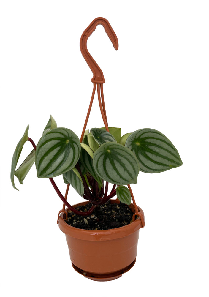 """Watermelon Peperomia 4"""" Mini Hanging Basket  - Collector's Series"""