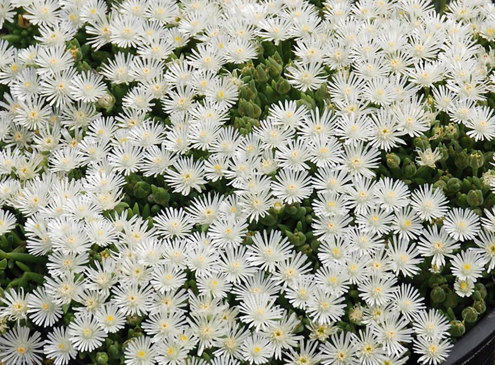 """HotCakes® Coconut Crush Ice Plant - Perennial - Delosperma - 4"""" Pot"""