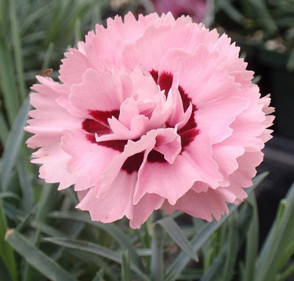 Raspberry Surprise Dianthus - Fragrant Dbl Pink Blossoms/Red Center - Quart Pot