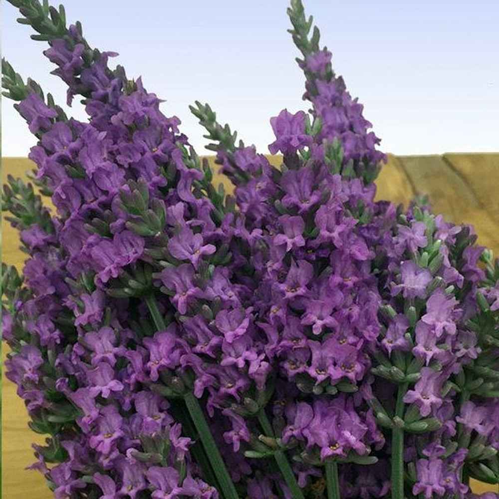 Sensational!™ Lavender Herb - Live Plant - Gallon Pot