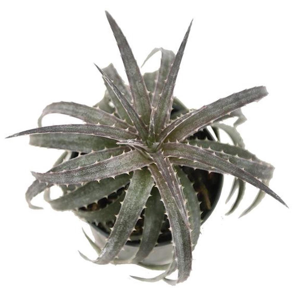 "Pale Rider Sawblade Dyckia Plant - 4"" Pot - Succulent Bromeliad"