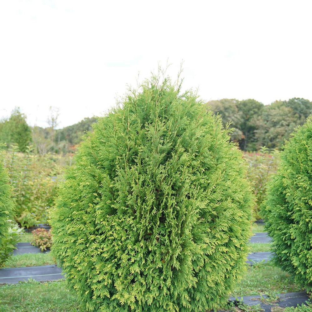 "CHEER DROPS™ Arborvitae - Thuja - Proven Winners - 4"" Pot"