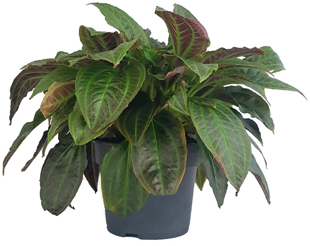 """Rare Monolena Primuliflora - Ant Plant - Collector's Series - 4"""" Pot"""