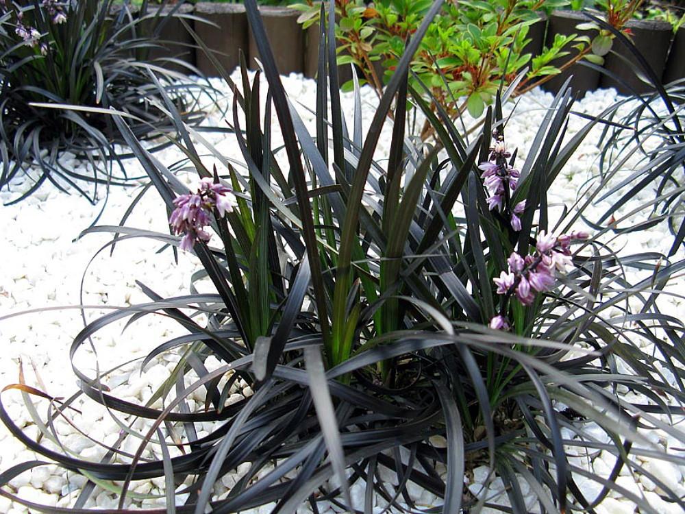 "Black Dragon Mondo Grass Plants - Ophiopogon - 2.5"" pot - Terrarium/Fairy Garden"