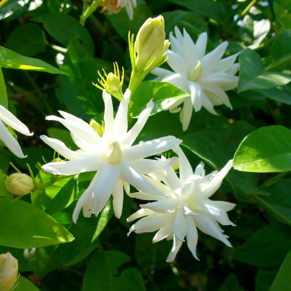 "Arabian Tea Jasmine Plant - Belle of India - Sambac - 2.5"" Pot"