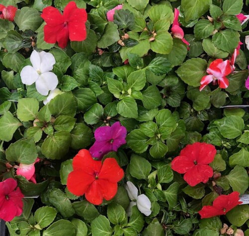Imara™ XDR Mix White & Red Impatiens - 15 Seeds - Annual
