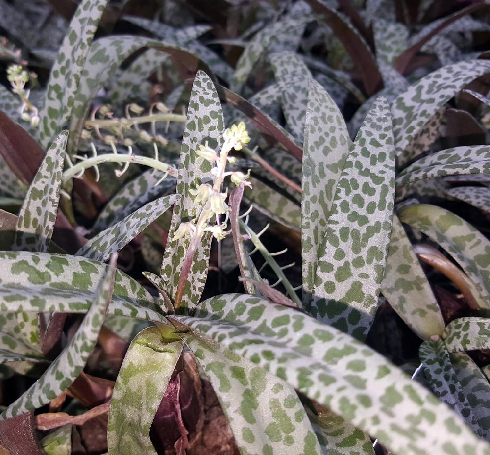 """Leopard Lily Plant - Silver Squill - Scilla violacea - 6"""" Pot -  Easy Houseplant"""