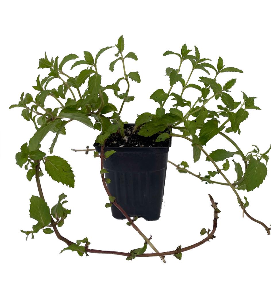 """Swiss Mint - Mentha x piperita 'Swiss' - Live Plant - 4"""" Pot"""