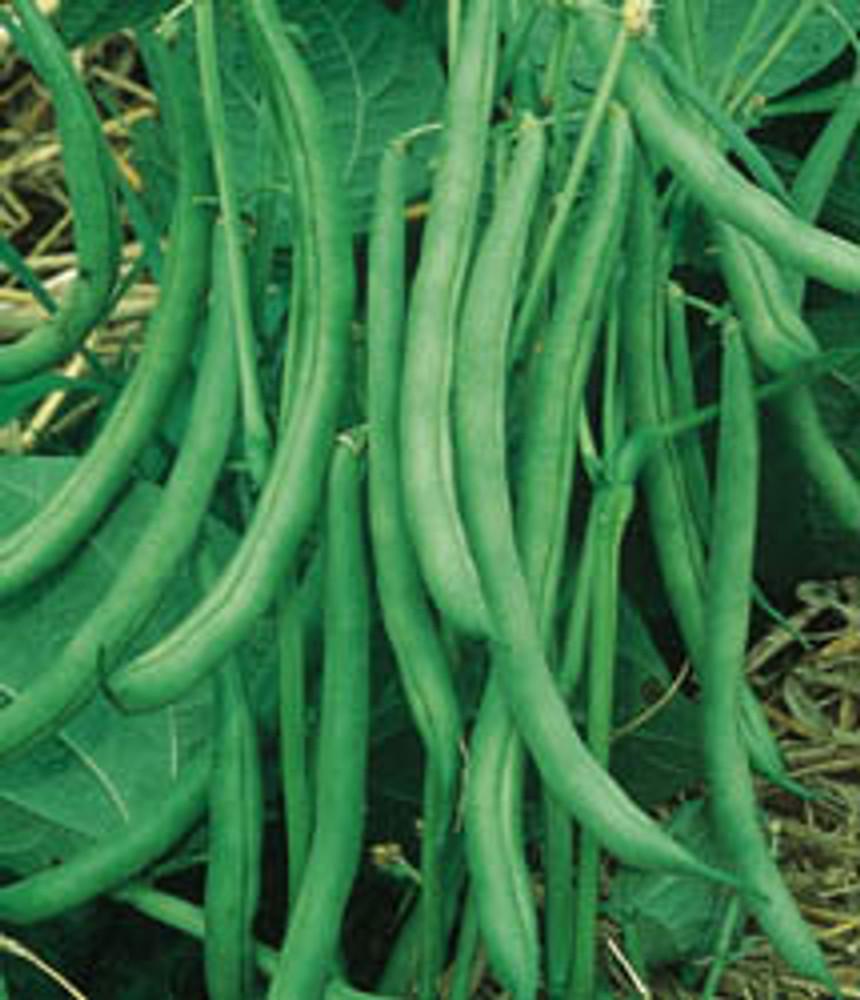 Contender Stringless Bush Bean Seeds - 1 lb