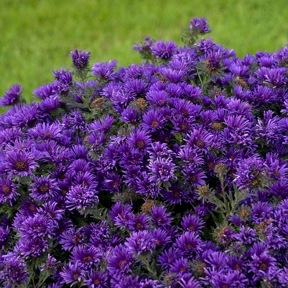 Grape Crush Aster - Fall Blooming Perennial - Hardy - Gallon Pot