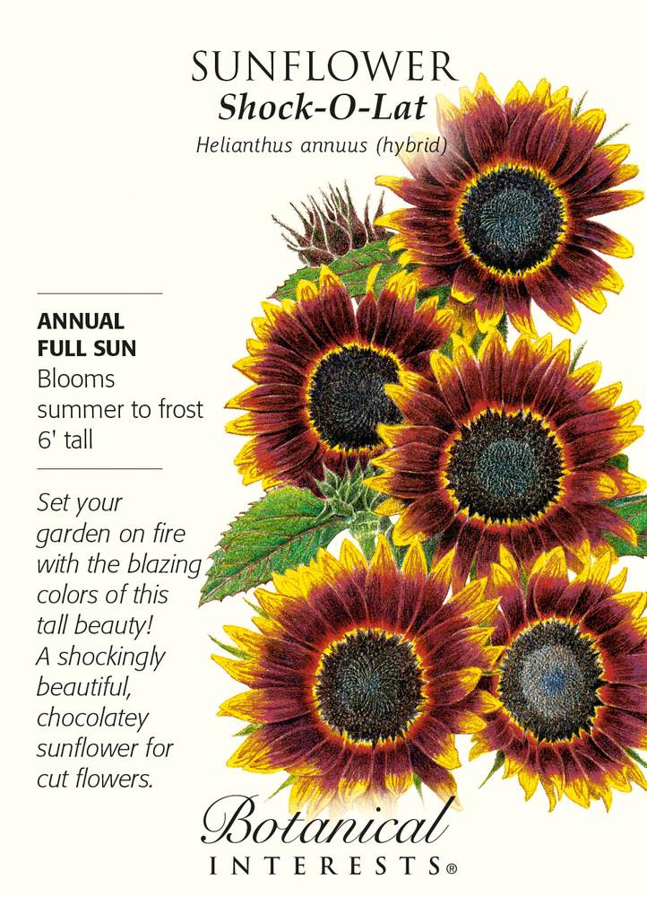 Shock-O-Lat Sunflower - 10 Seeds