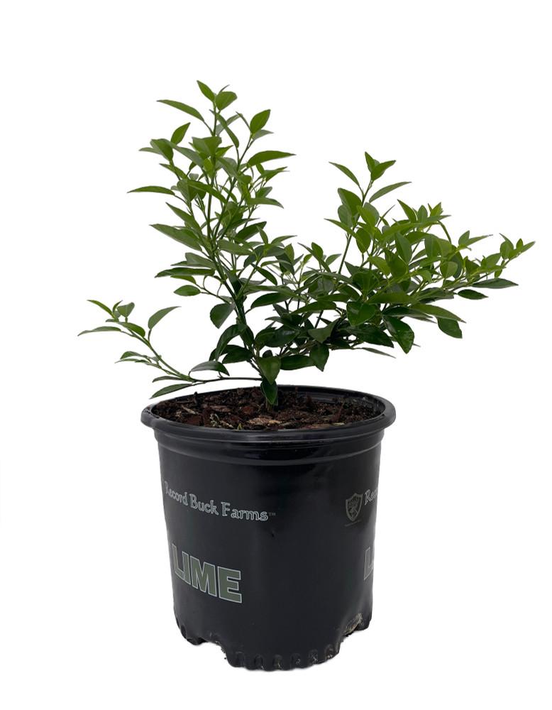 "Thorny Key Lime Tree - 8"" Pot - No Shipping to TX, FL, AZ, CA, LA, HI"