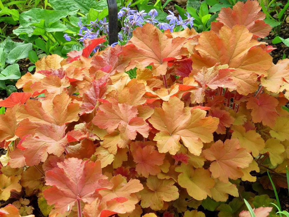 Caramel Coral Bells - Heuchera - Live Plant - Gallon Pot