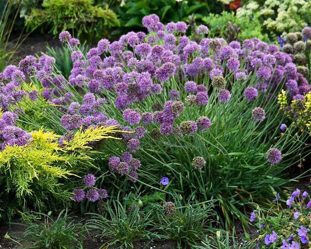 Medusa Flowering Onion Perennial - Allium - Gallon Pot