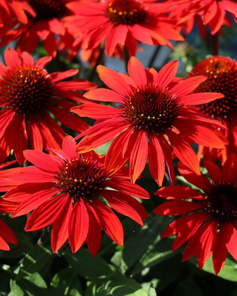 Sombrero™ Sangrita Coneflower Perennial - Echinacea - Gallon Pot