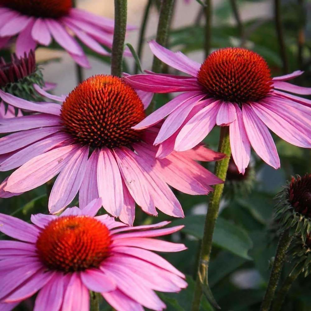 "Purple Coneflower - Echinacea purpurea - 4"" Pot"