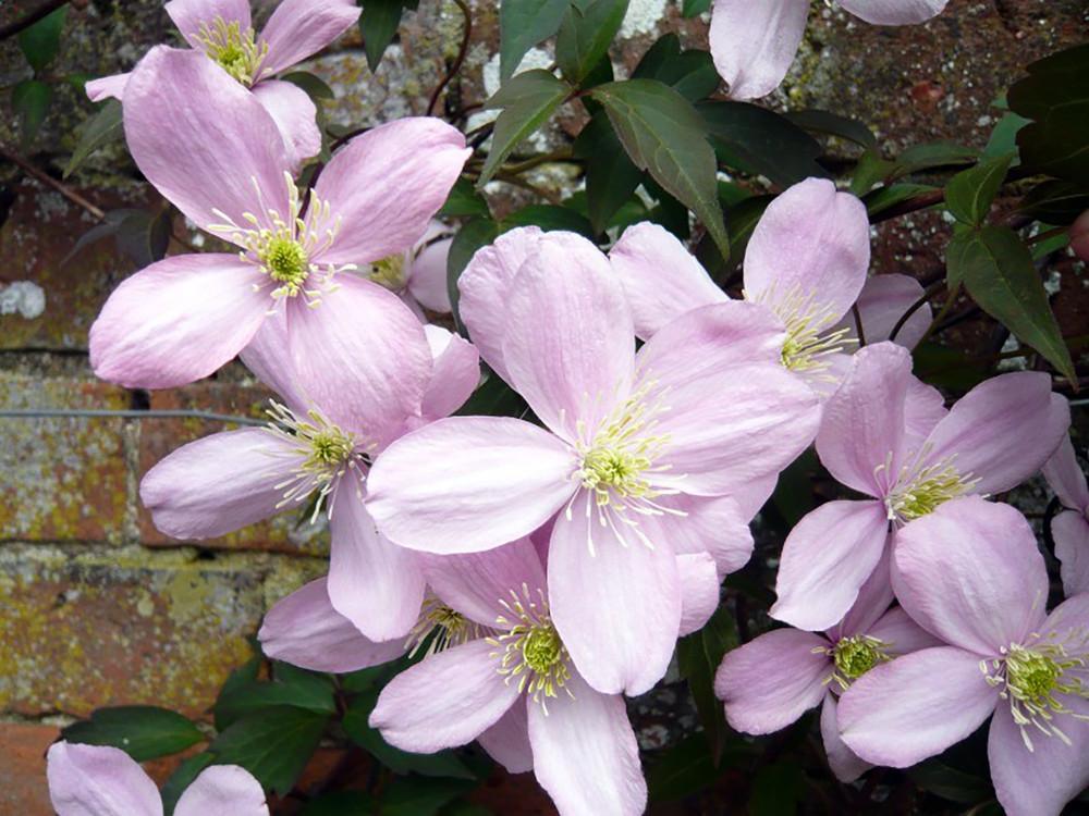 "Montana Elizabeth Clematis Vine - 2.5"" Pot - Anemone Clematis"